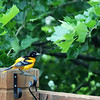 June 23, 2016: Male oriole on our back deck on a rainy afternoon.