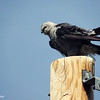 Aug. 22, 2016: I wanted to get a close-up of the Mississippi Kites, so I drove to a neighborhood just a little further down the road from us and found this one perched on a street post. Notice that it has red eyes, unlike the other hawks that I've taken photos of, which usually have yellow eyes.