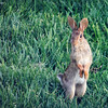 Aug. 15, 2016: I think it's been a good bunny year; I've noticed many bunnies in our neighborhood, including several in our own yard.