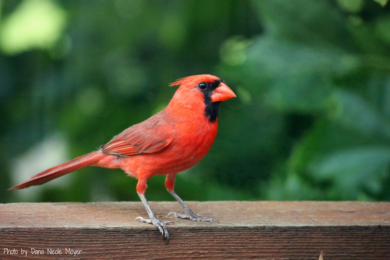 June 30, 2016: Cardinal on our back deck.