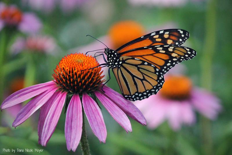 June 20, 2016: Monarch butterfly in my butterfly garden.