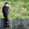 Sept. 2, 2016: I just so happened to look out our back door when I saw two large wings float downward from over top of our house! I grabbed my camera and found this hawk perched on our back deck.