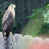 Aug. 26, 2016: I'm pretty sure I saw this same hawk twice, today! The first time he was perched on this fence, he had several purple martins diving around him and making lots of noise! A few hours later, I saw him sitting on the same fence and managed to get a photo.