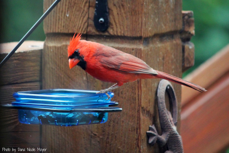 June 13, 2016: This male cardinal seemed a little frazzled while getting some grape jelly, this morning.