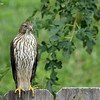 Aug. 12, 2016: I spotted this hawk perched on our back fence, this afternoon. (I have given up trying to distinguish between Cooper's Hawks or Sharp-shinned Hawks.)