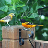 June 23, 2016: Male and female oriole on our back deck on a rainy afternoon.