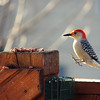 Nov. 24, 2016: Red-bellied woodpecker on our back deck.