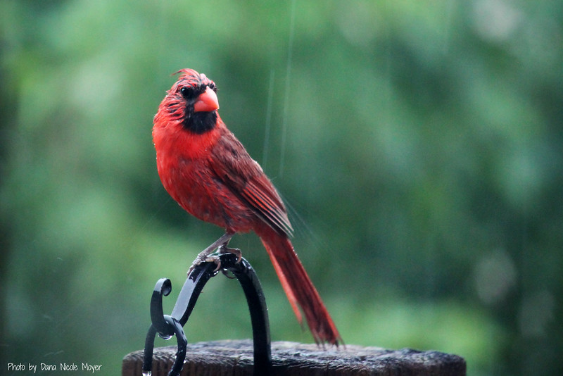 July 13, 2016: Cardinal in the rain.