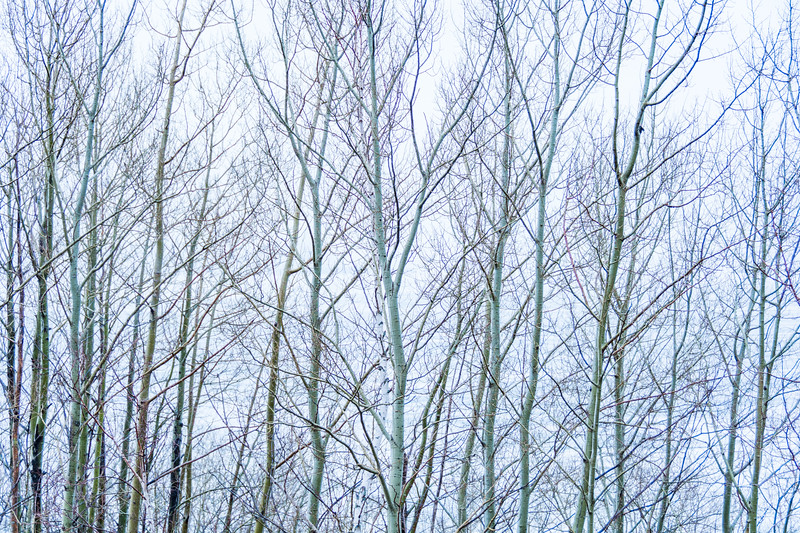 Silver Birch trees at Lake Superior