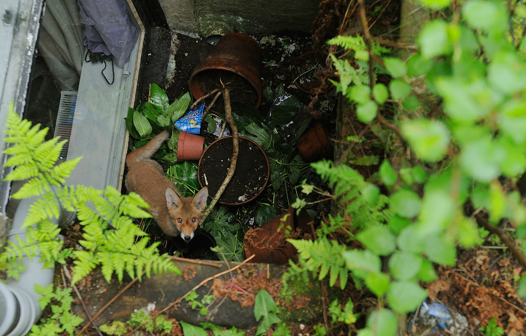 I peered down the drop to the basement window and there staring back at me was the lost cub. It was shaking and looking rather distressed, with the drop around 2 metres the cub had no chance of escape. Clearly the vixen was also rather stressed unable to get down to her cub to the help it. It's likely it must have fallen down at some point during the night whilst out foraging with its parents. Whilst I probably could have jumped down and picked the cub up I undoubtedly would have gotten a nip for my troubles. With nobody answering in the basement flat I ended up phoning the SSPCA, who dispatched an officer to come take a look. When the officer arrived I talked her through the situation and showed her where the cub was stuck. She was rather astonished I'd managed to find a cub in such an unlikely and hidden spot but was delighted be able to help out. Once the cub was caught and lifted out it was desperate to be set loose, clearly not suffering any ill effects from the fall. The moment it was freed it was off like a shot sprinting back to the den. I must confess to feeling really delighted to have helped reunite the small shaking cub with the rest of its family.
