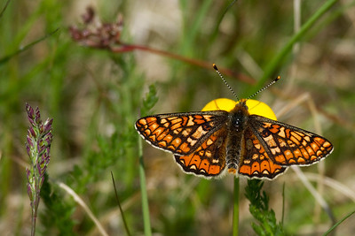 I believe I stroke gold yesterday finding several of the rare and beautiful Marsh Fritillary. It could well be their first day of flying this year. The butterfly season definitely started!