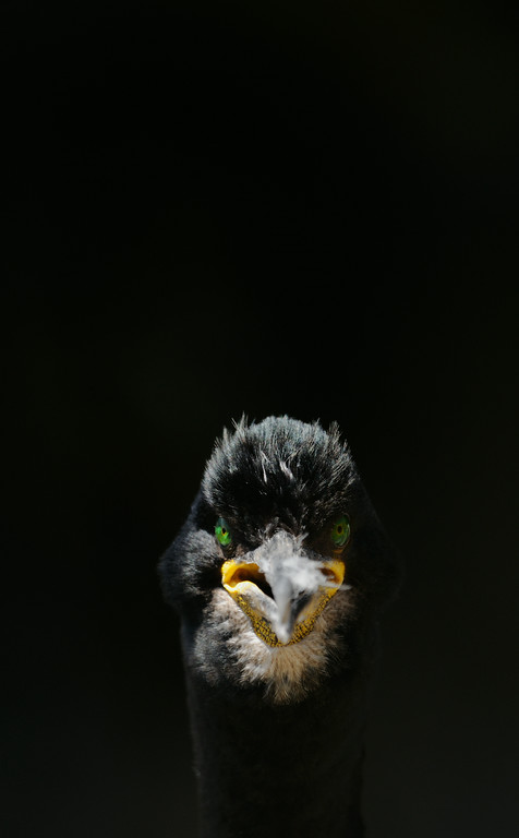 There were numerous pairs of shags nesting on the cliffs by the South Horn. With some nests just a couple of metres off of the path. Shooting into the light, the cliffs behind were bathed in shadow allowing me to capture this intense portrait.