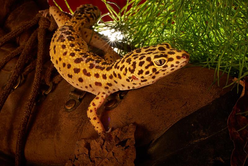 Jacq's Leopard Gecko