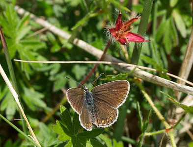 Last summer I found two species of butterflies that I had never seen before. It was the Alcon Blue (Ensianblåfugl) and the Northern Brown Argus (Sortbrun Blåfugl). Both are rather rare in Denmark. The Northern Brown Argus and I share a passion for the flower called bloody cranesbill and the butterfly only lives in a small area on the northwest coast of Jutland. The larvae feeds on the cranesbill. Although we knew where to look it took us a while to find it.