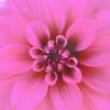 Soft Focus Dahlia