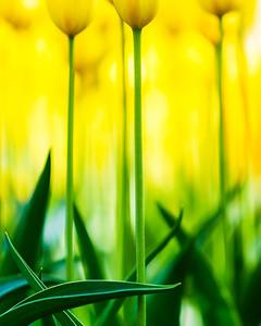 Tulip Heaven (Keukenhof, Netherlands 2015)