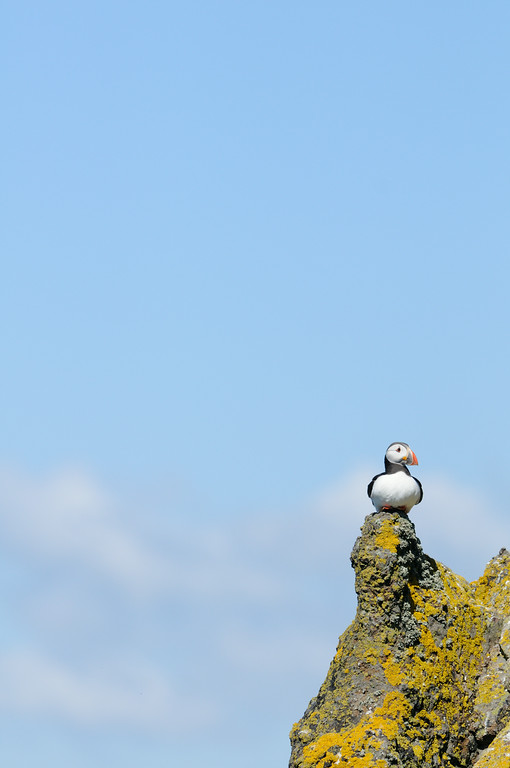 As we walked along the top of the cliffs I noticed this puffin sitting high and proud on a small lichen covered tower of rock. I headed further along the path to then shoot back with the midday light. This year there were an estimated 45,000 occupied puffin burrows on the island, at this time of year it really was buzzing with wildlife.<br /> <br /> We even got to see a puffling up close! As we headed down to Fluke Street a greater black back flew overhead carrying a puffling when suddenly it managed to wrangle free and fell from the sky, bouncing off the nearby rocks and landing at our feet. Any pufflings which are found out during the day are collected by the volunteers and staff working on the island and put in a box until nightfall before being thrown off the cliffs under cover of darkness.