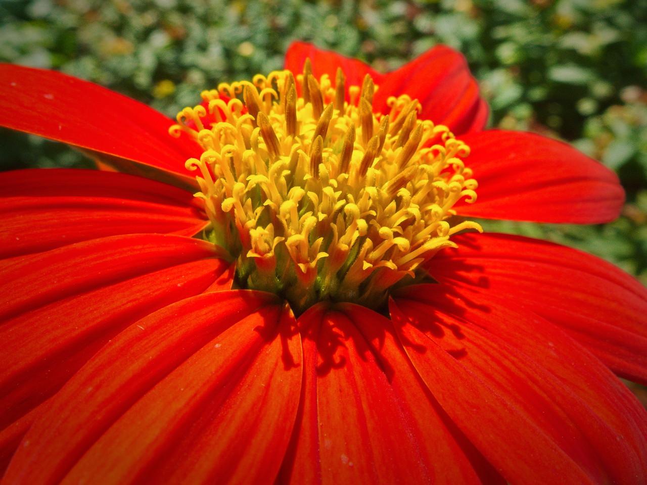 Mexican Sunflower II
