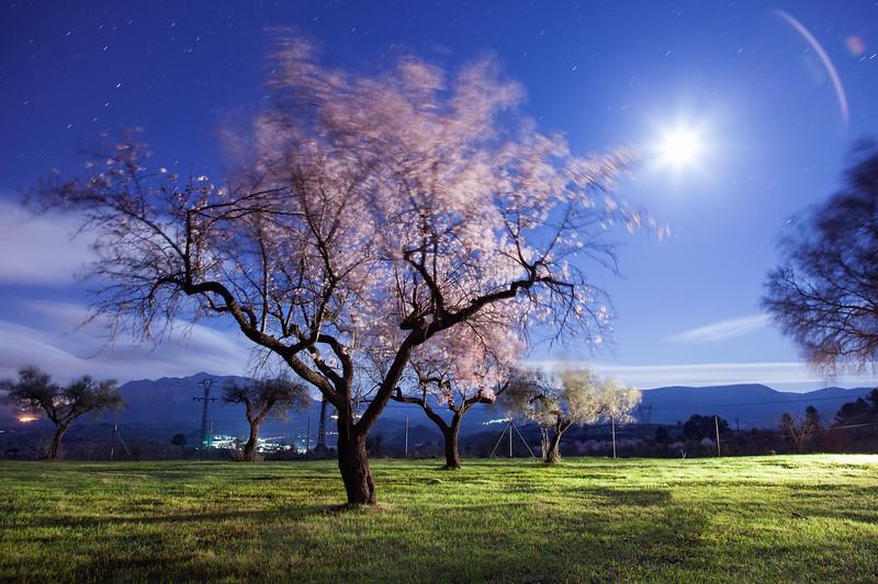 Almond trees blooming in the wind (Castillo de Penella, Spain 2013)