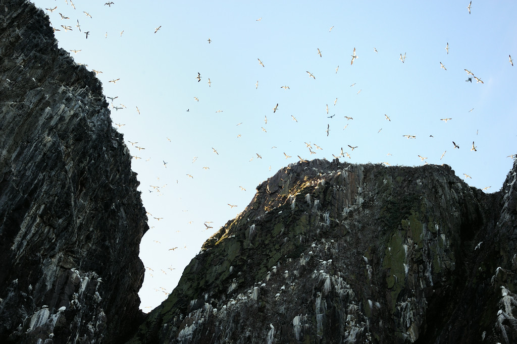 Nest space is at a premium on the Bass with so many birds present during the breeding season. This overcrowding is thought to have contributed to the establishment of a breeding colony at Troup Head 112 miles to the North on the Aberdeenshire coast. The first birds started to colonise in 1988 are thought to have originated from the Bass. Gannets are synonymous with the Bass Rock, to the point where they even derived their latin name (Morus bassanus) from the island.