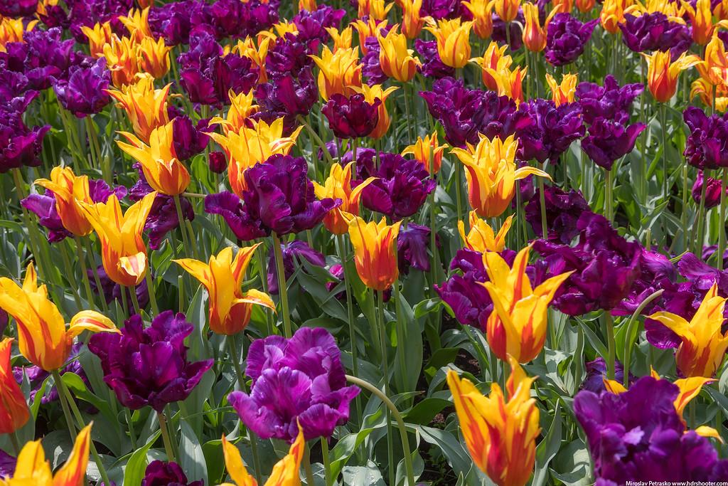 Tulips in Keukenhof, Amsterdam, Netherlands