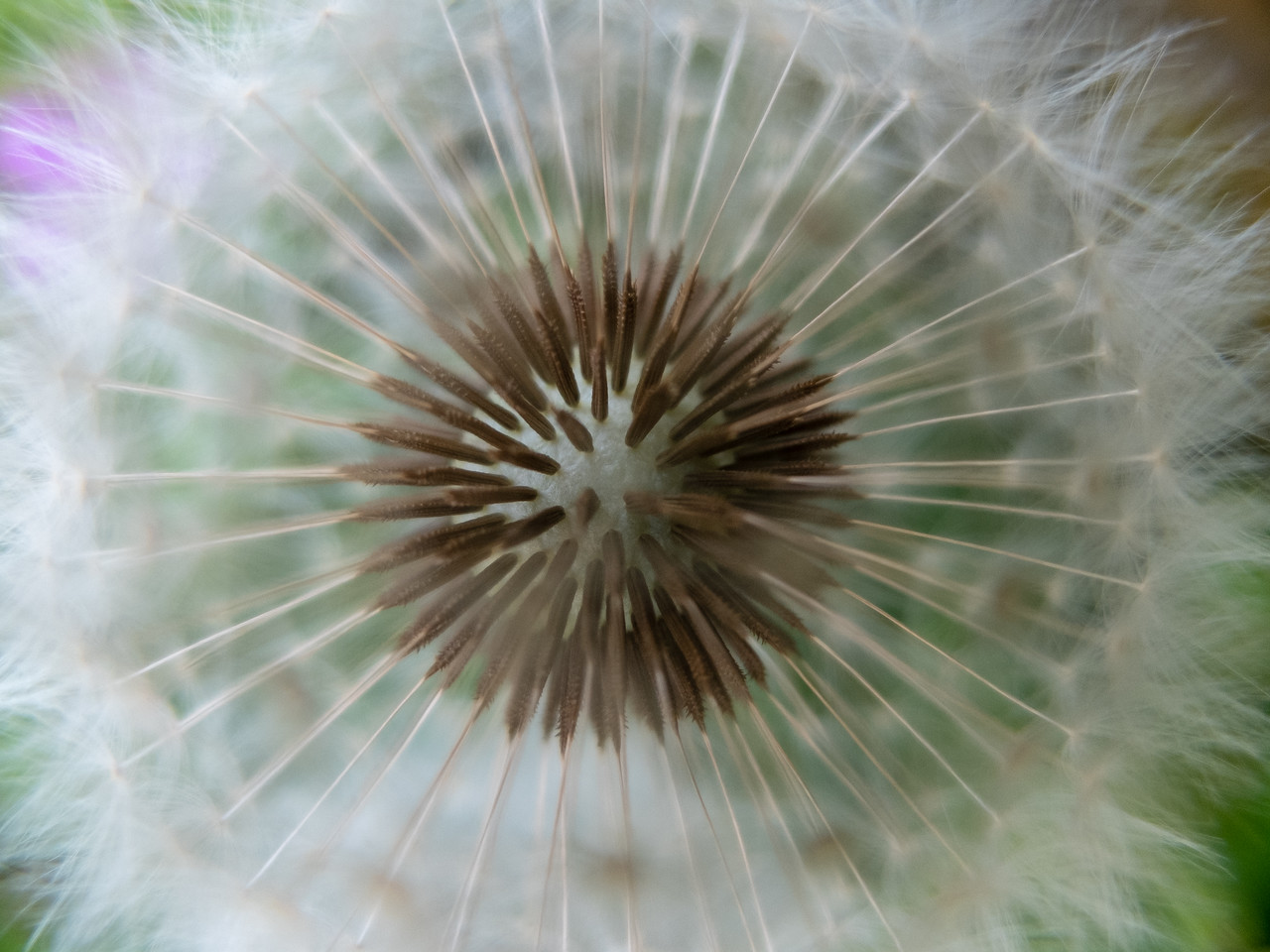 Eye of the Dandelion