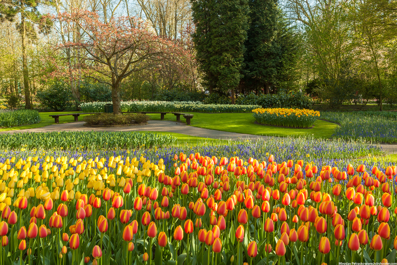 Few more tulips from Keukenhof, Amsterdam, Netherlands