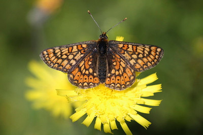It's time to look for Marsh Fritillaries! According to the calendar they have been flying for a week or so. Still, it's been rather rainy and Spring was cold. When the rain stops I'm off......