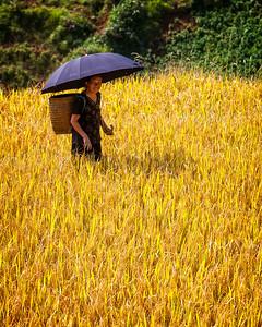 The Harvest (Sapa, Vietnam 2009)