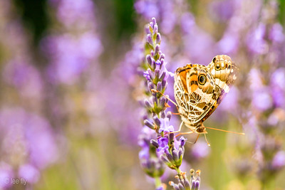 butterfly and lavendar