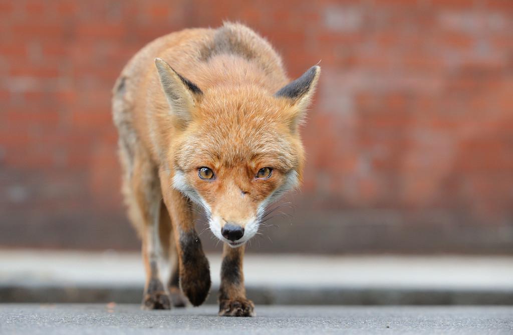 Glasgow's Fantastic Foxes