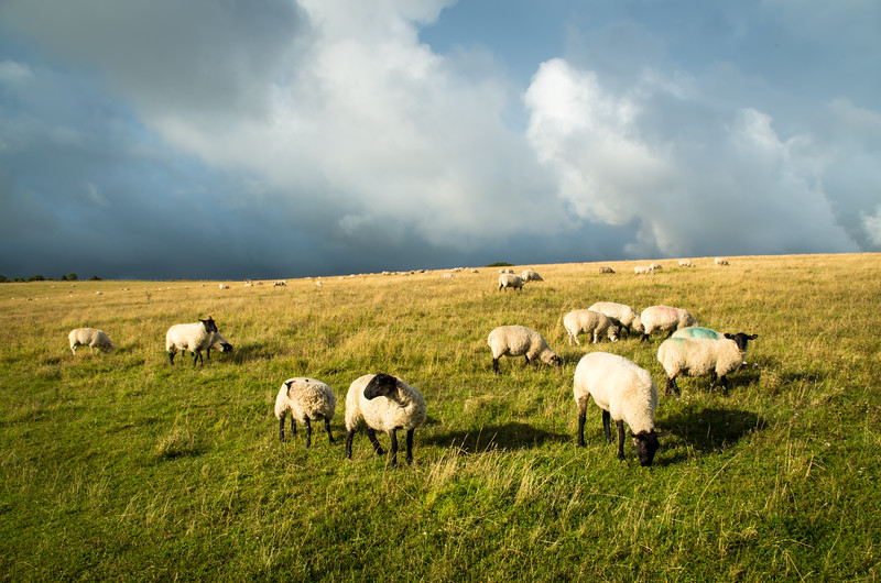 South Downs Sheep