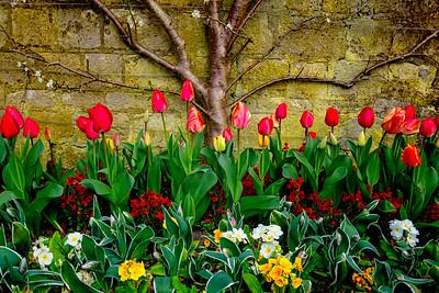 Tulips at Grange Gardens