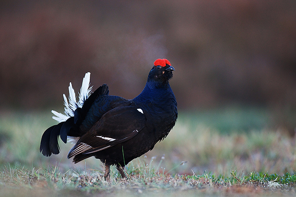 Lekking Black grouse near Adazi