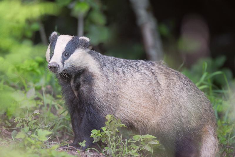 Āpsis mežā / European badger in a forest