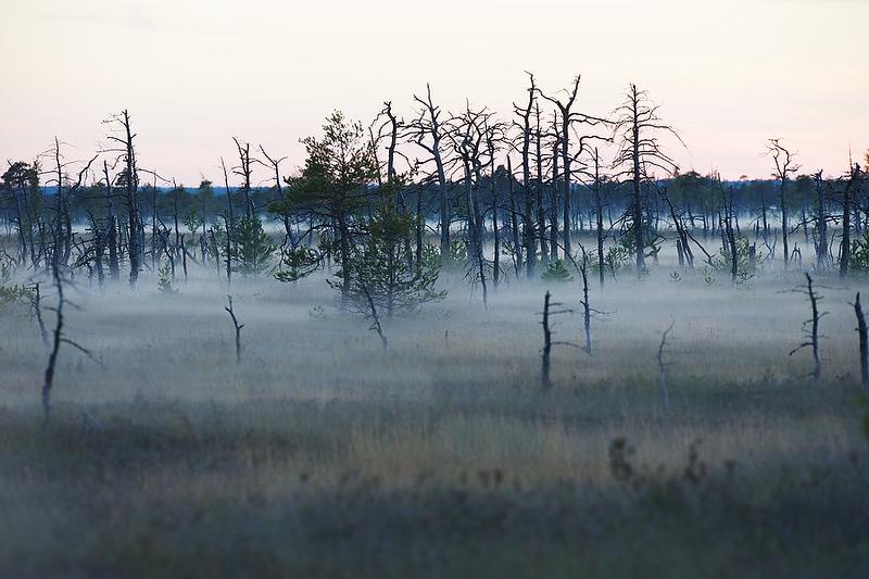 Burned pine trees in Grate Kemeri Moor