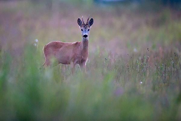 Roe deer bull near Cenas moor