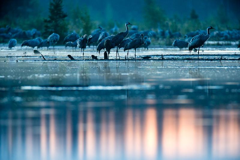 Dzērves nakšņošanas vietā / Common cranes in roosting place