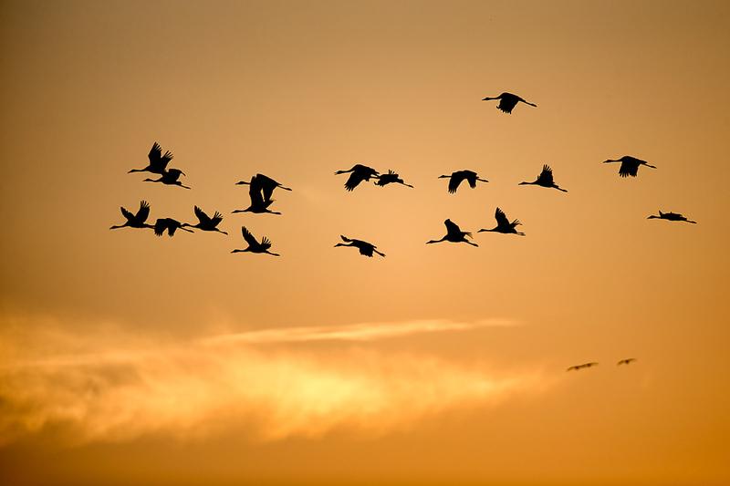 Eurasian cranes fly to roosting site in Grate Kemeri Moor