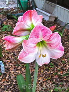 Awesome AMARYLLIS by Mikki K.