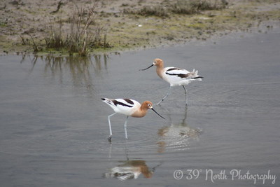 Avocet pair by Francis M