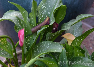 Calla Lilies by Angie K.