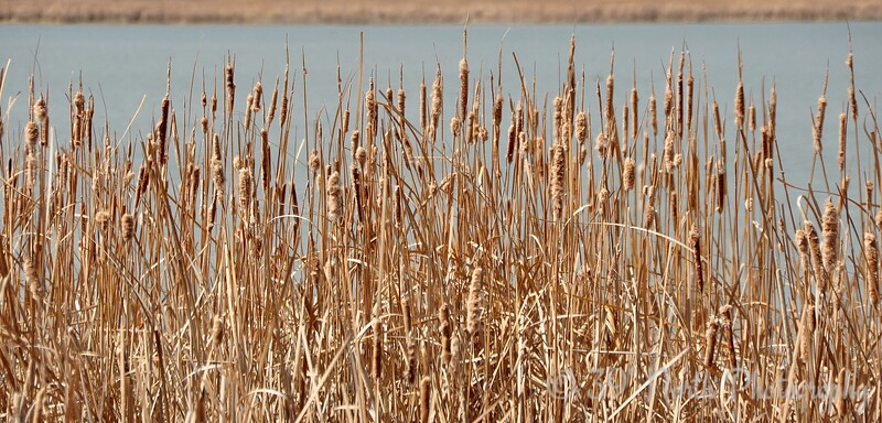 Cattails by Laurie H.