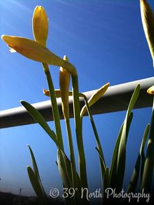 Daffodils - Påskliljor (Easter lilies) by Sandra N.