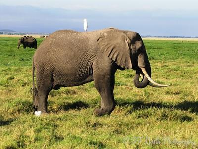 Elephants, Ambuseli by Angie K.