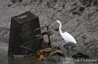 Great Egret avoiding trash on Earth Day by Francis M.