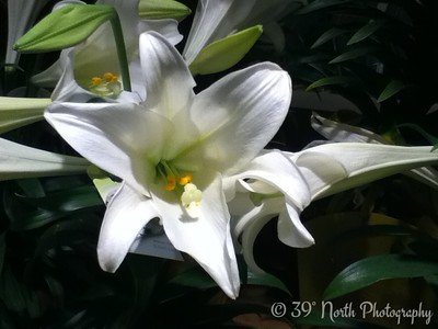 Easter Lily by Laurie H.