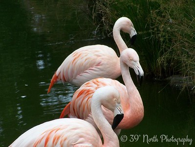 Flamingos by Francis M.