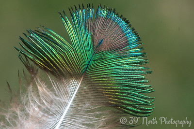 Feather by Laurie H.