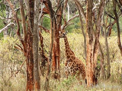 Giraffe by Angie K.